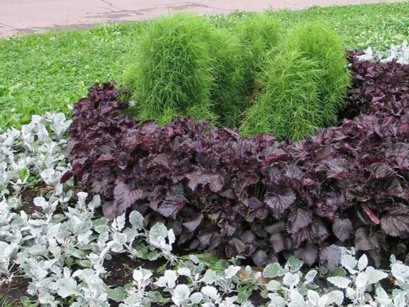 Цинерарія кімнатна вирощування з насіння фото
