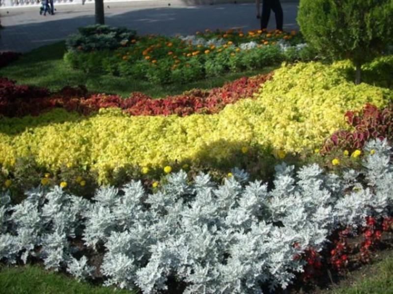 Цинерария выращивание из семян