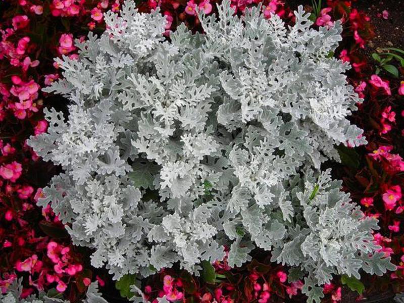 Цинерария серебристая - выращивание из семян картинки