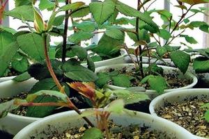 насіння троянди