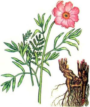 Настойка пиона - очень полезное лекарственное средство