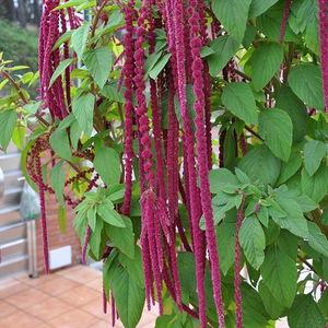 Чем отличается цветок амарант?