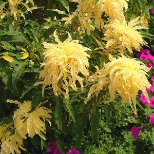 Амарант Аврора - трехцветное растение.