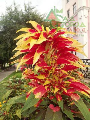 Амарант Иллюминация отличается очень пестрым цветком.
