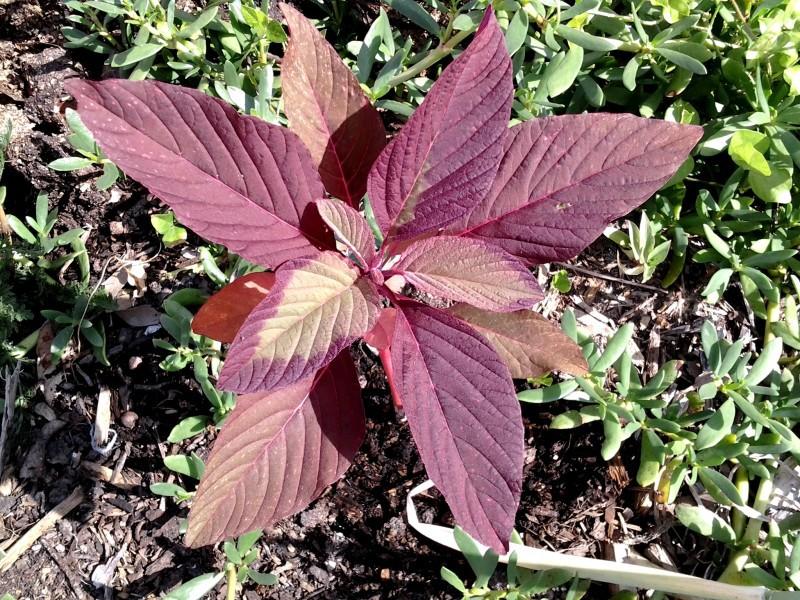 Листья красного амаранта показаны на фото