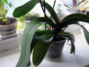Орхидея дома плохо растет и не цвете