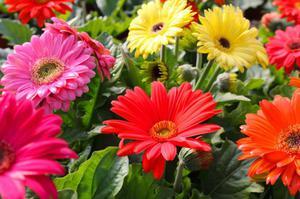 Садовая Гербера - это красивый многолетний цветок, который растет в саду.