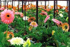 Герберы в теплице - фото цветущих растений.