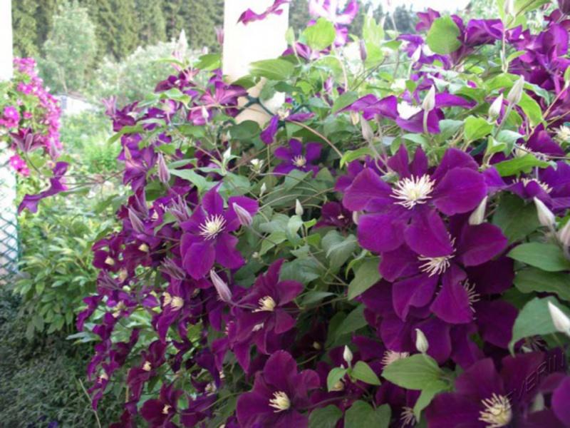 Условия для выращивания клематисов