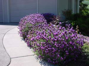 Цветок лаванда