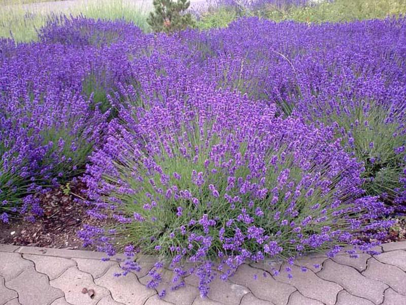 Цветы лаванды посадка и уход