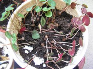Как вырастить цикламен из семян в домашних условиях где купить семена, чем их лучше обработать, как