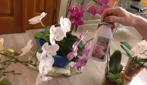 Подкормка орхидей должна быть регулярной.