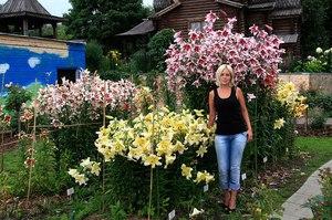 Как красиво посадить лилии фото