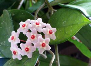 Цветок азалия фото и уход в домашних условиях 47