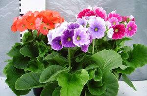 Примула комнатная - особенности растения