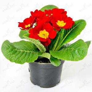 Комнатные цветы и название гербера 56