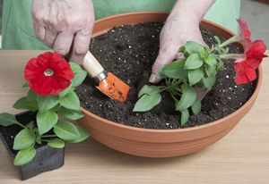 Выращивание петунии из семян в домашних условиях