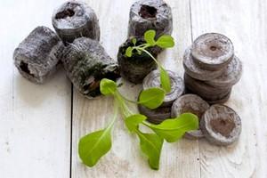 Как вырастить петунию из семян