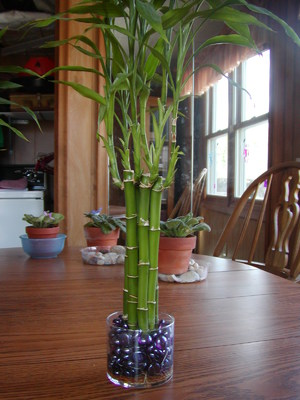 Драцена Гукера фото описание растения тонкости ухода и