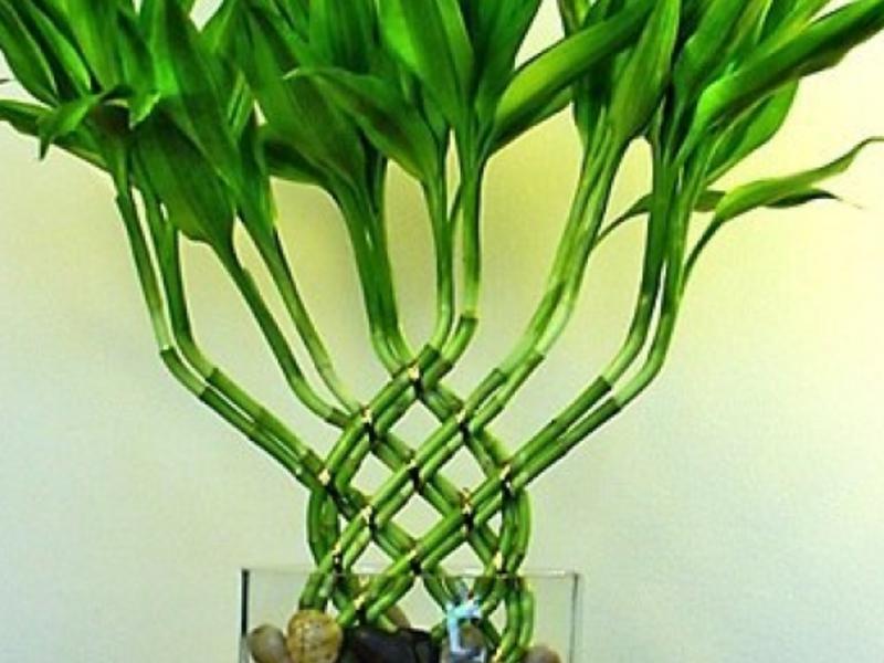 Бамбук уход