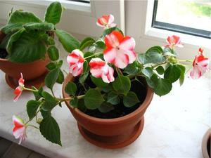 Характерные свойства цветка бальзамина