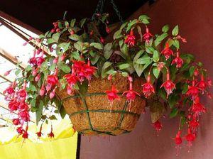 Особенности условий содержания комнатных цветов фуксий
