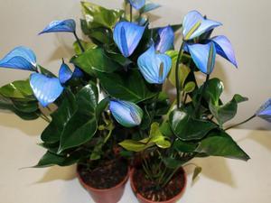 Характерные особенности комнатного цветка антуриума