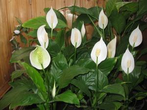 Особенности внешнего вида комнатного растения спатифиллума