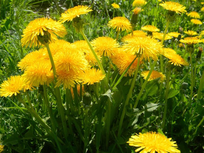 цветы полевые картинки и их названия