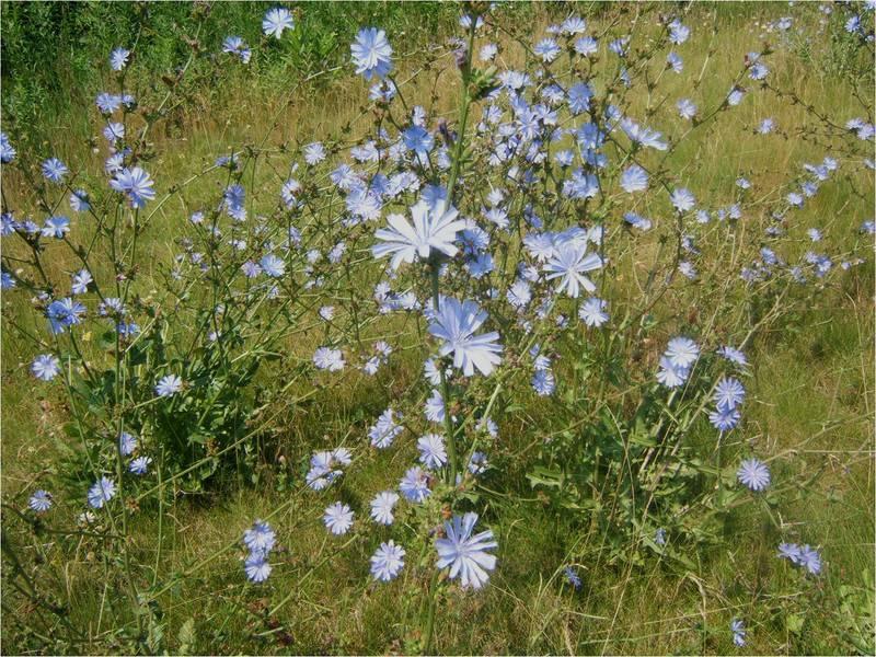 Белые полевые цветы подмосковья и названия 37