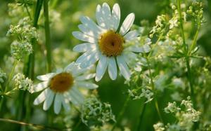 Полевые луговые цветы