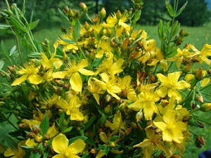 Какие есть виды полевых цветов разновидности растений, названия луговых цветов, применение в