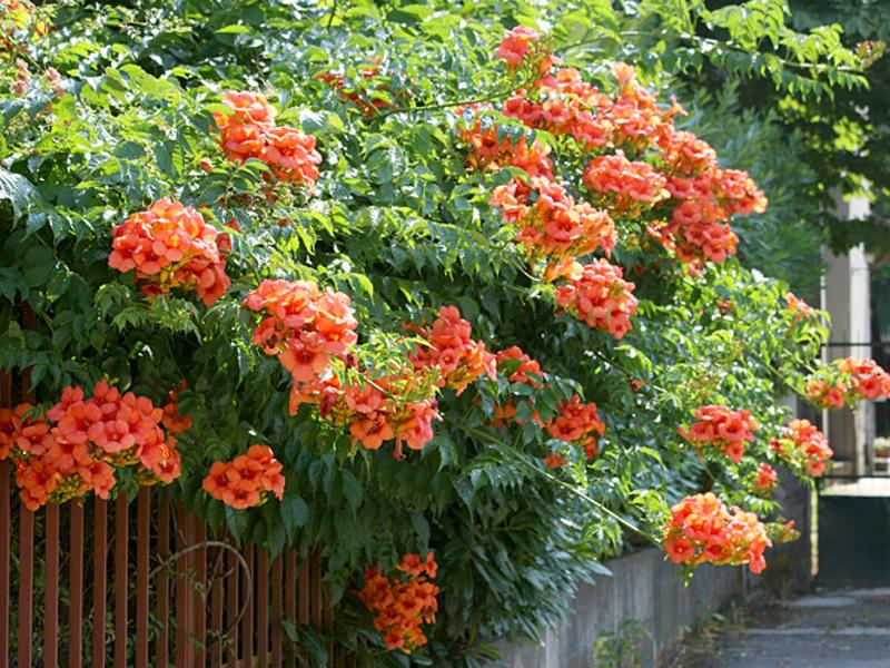 Кампсис цветов в саду
