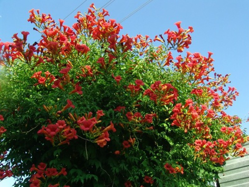 Цветы садовые в средней полосе