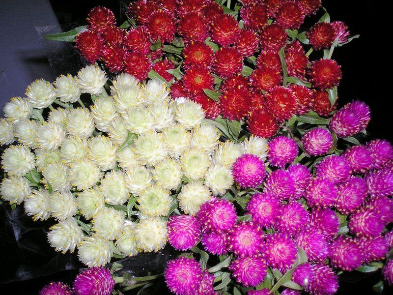 Цветы сухоцветы фото и названия