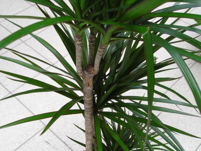 Условия для выращивания драцен