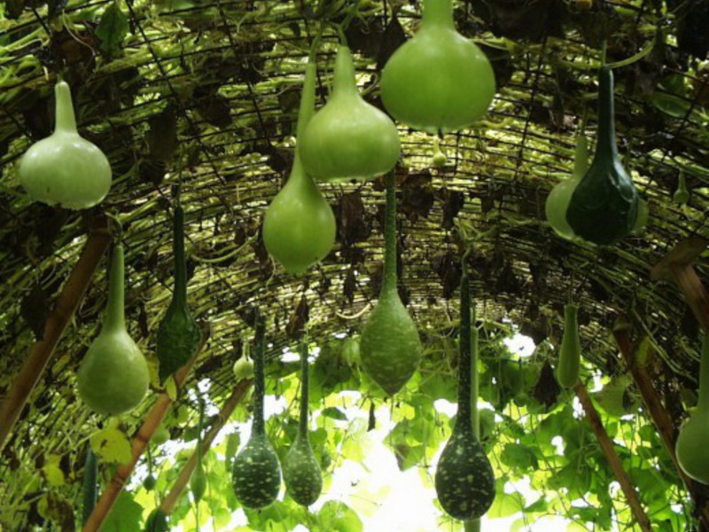 Семена лагенарии бутылочной