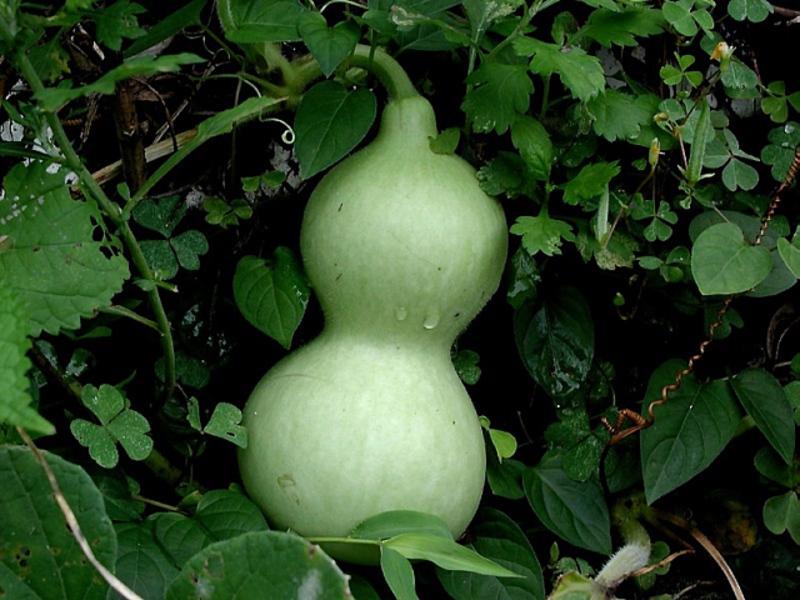 Лагенария бутылочная тыква