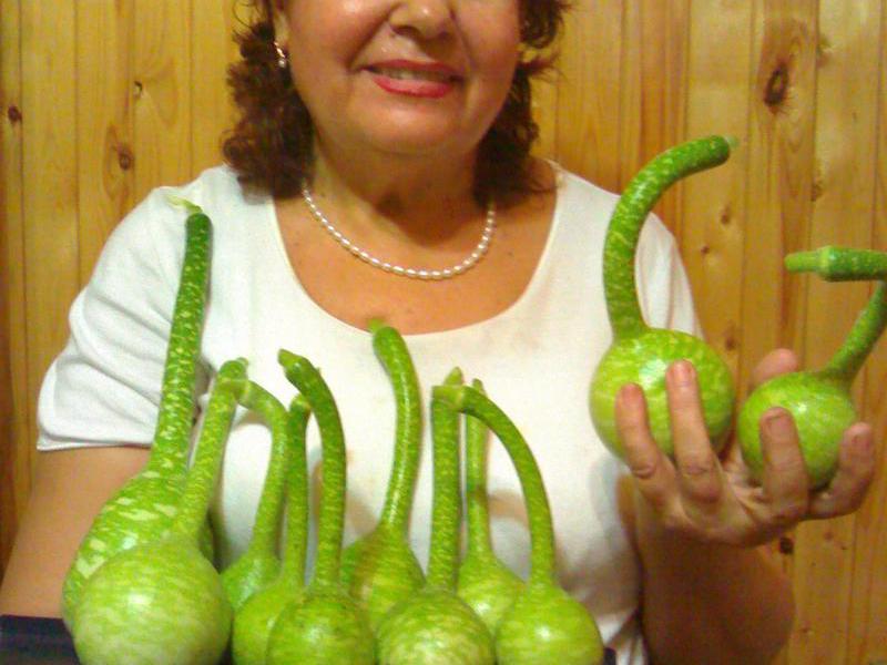 Выращивание тыквенных лагенария