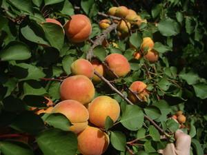 Как выбрать лучший сорт абрикос
