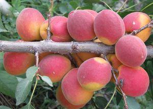 Сорта и виды абрикосов