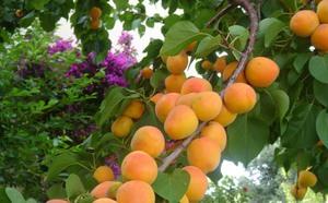 Плоды абрикосы
