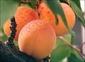 абрикос росіянин