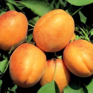 Краснощекий абрикос описание сорта