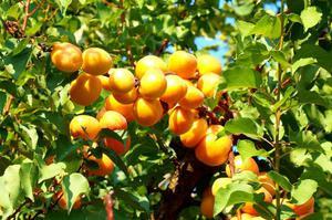 Посадка и уход за абрикосами