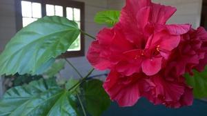 Значение цветка гибискус