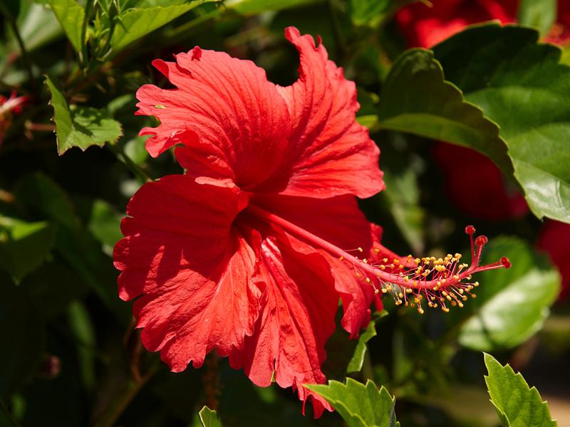 Что-за цветок гибискус
