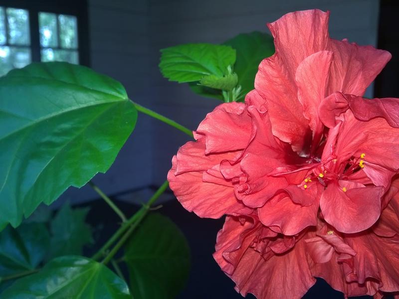 Окрас цветка гибискуса