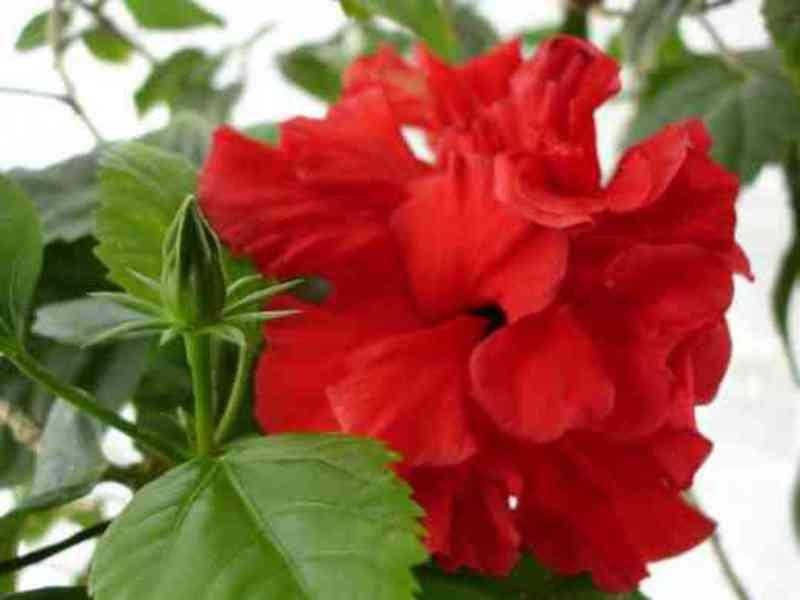 Картинки по запросу Гибискус - Китайская роза
